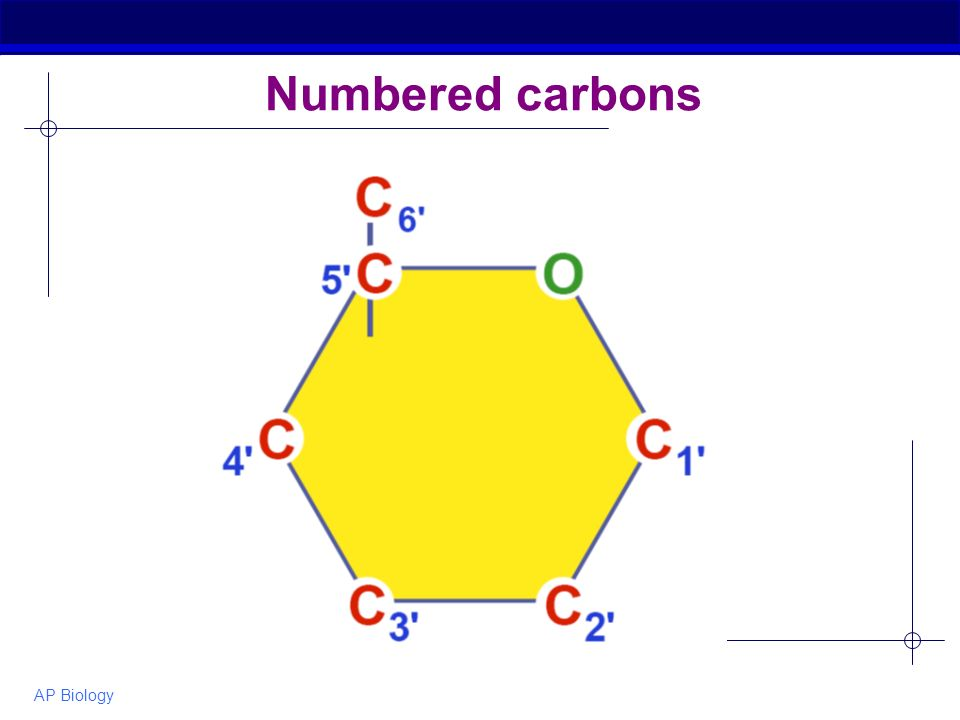 AP Biology Numbered carbons