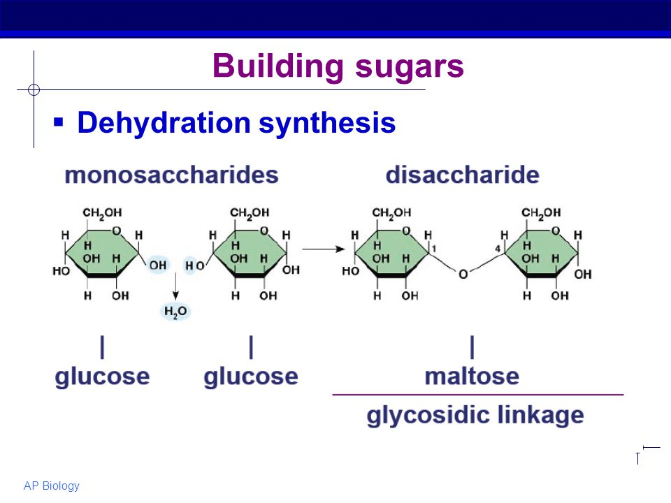 AP Biology Building sugars  Dehydration synthesis