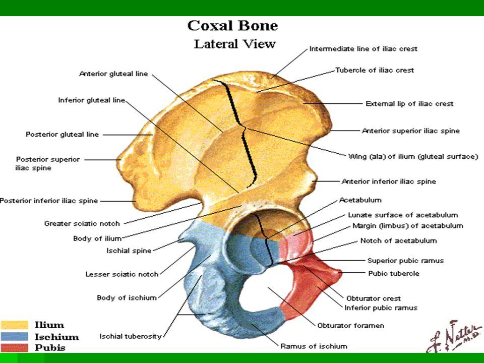 Hip, Pelvis and Thigh : Anatomy, Evaluation. BONY ANATOMY. - ppt ...