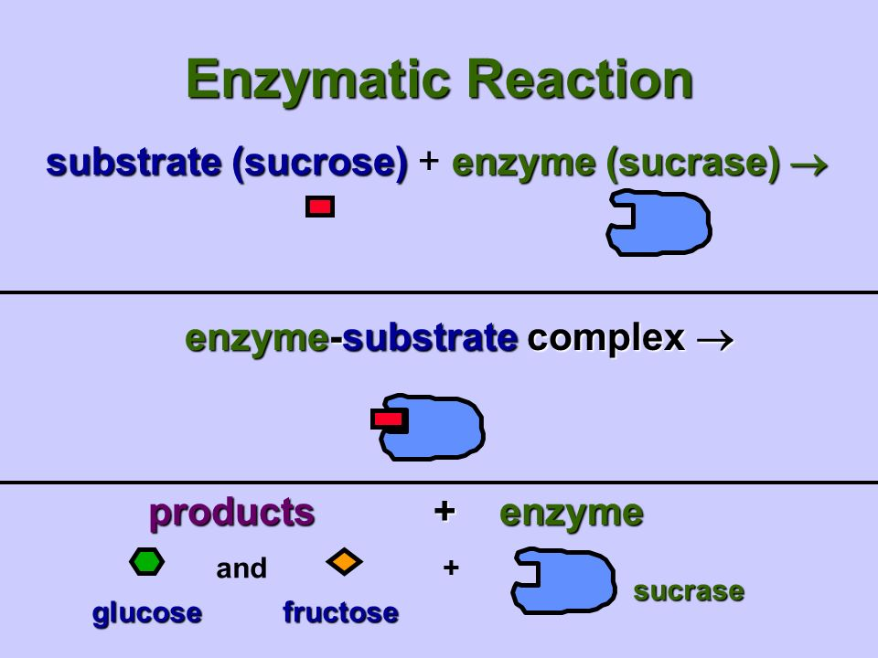 Enzymatic Reaction substrate (sucrose)enzyme (sucrase)  substrate (sucrose) + enzyme (sucrase)  enzyme-substrate complex  and+ sucrase glucosefructose glucose fructose products +enzyme
