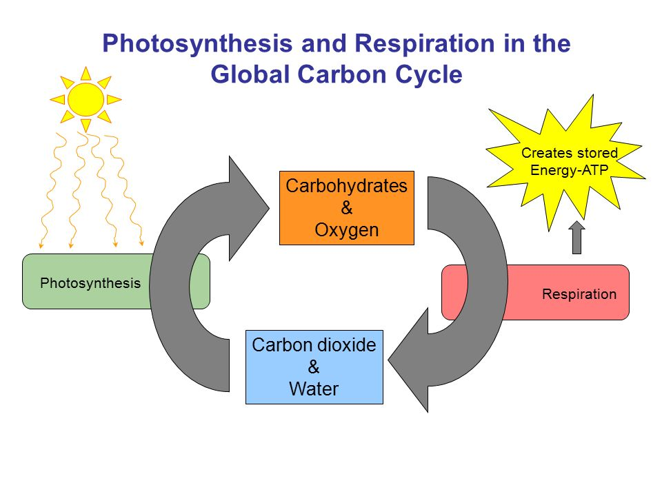 the photosynthesis and respiration cycle Photosynthesis and respiration notes - free download as powerpoint presentation (ppt), pdf file (pdf), text file (txt) or view presentation slides online pyruvate acetyl coa citrate isocitrate in each turn of the cycle, the two blue carbons are converted to co2 all 8 reactions of the krebs cycle occur.