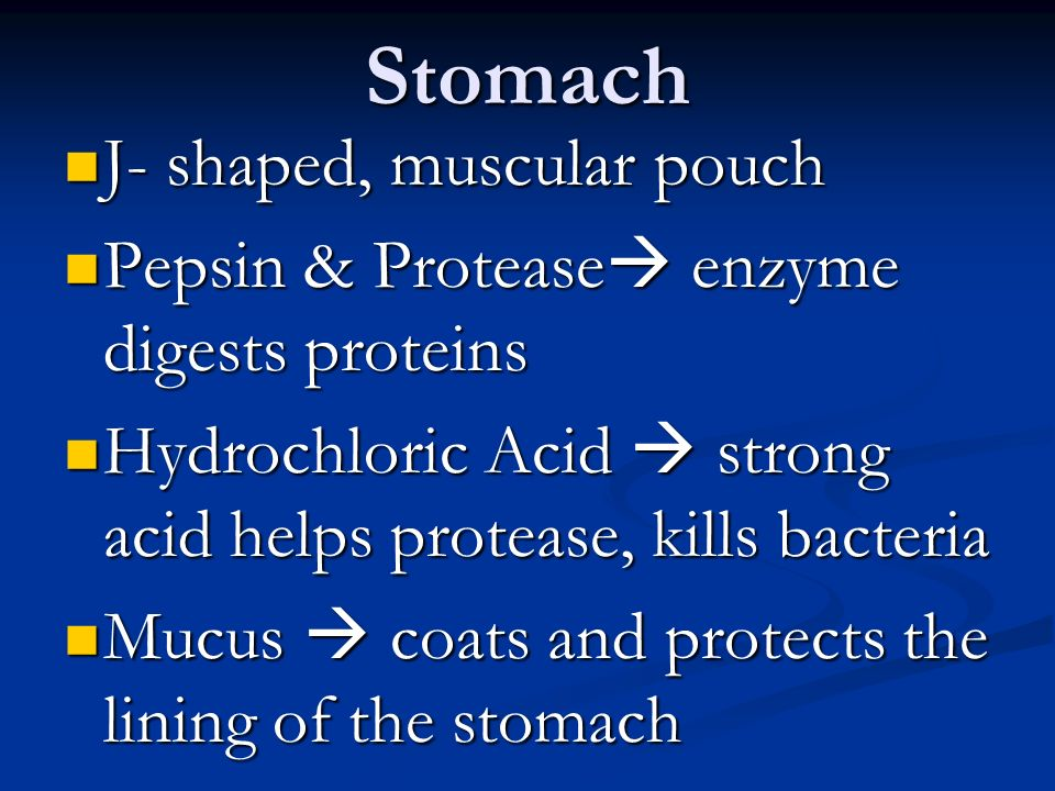 Stomach J- shaped, muscular pouch J- shaped, muscular pouch Pepsin & Protease  enzyme digests proteins Pepsin & Protease  enzyme digests proteins Hydrochloric Acid  strong acid helps protease, kills bacteria Hydrochloric Acid  strong acid helps protease, kills bacteria Mucus  coats and protects the lining of the stomach Mucus  coats and protects the lining of the stomach