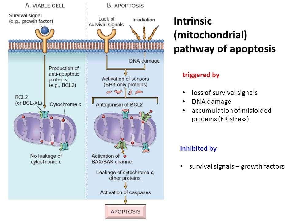 Intrinsic apoptotic pathway (signalling) | easybiologyclass.