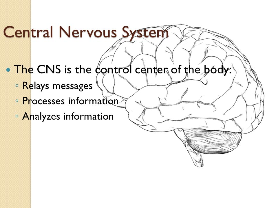 Central Nervous System The CNS is the control center of the body: ◦ Relays messages ◦ Processes information ◦ Analyzes information