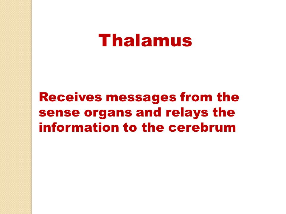 Thalamus Receives messages from the sense organs and relays the information to the cerebrum