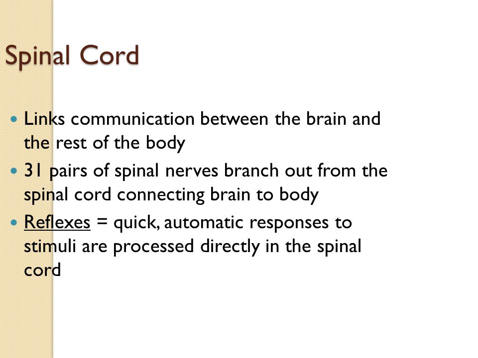 Spinal Cord Links communication between the brain and the rest of the body 31 pairs of spinal nerves branch out from the spinal cord connecting brain to body Reflexes = quick, automatic responses to stimuli are processed directly in the spinal cord