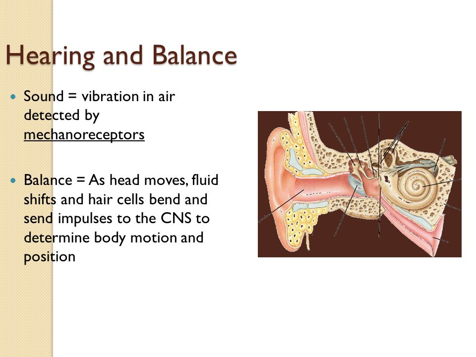 Hearing and Balance Sound = vibration in air detected by mechanoreceptors Balance = As head moves, fluid shifts and hair cells bend and send impulses to the CNS to determine body motion and position