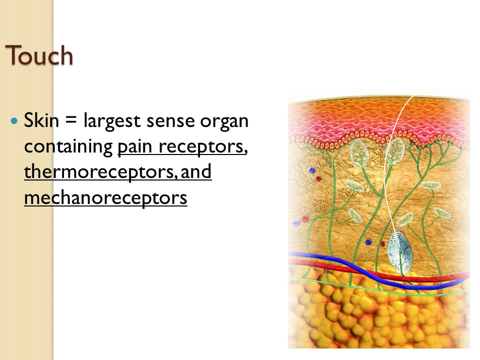 Touch Skin = largest sense organ containing pain receptors, thermoreceptors, and mechanoreceptors