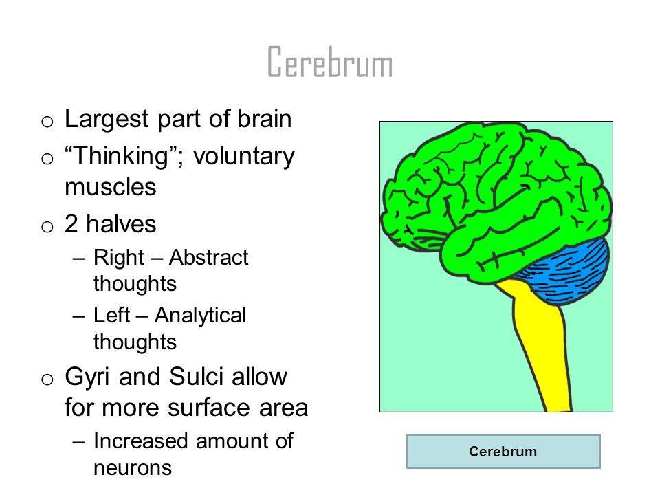 1 Cerebrum ...
