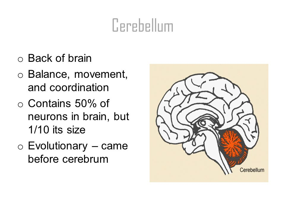 2 Cerebellum o Back of brain o Balance, movement, and coordination o  Contains 50% of neurons in brain, but 1/10 its size o Evolutionary – came  before ...