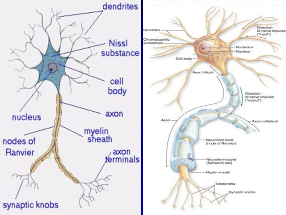 collateral nerve definition