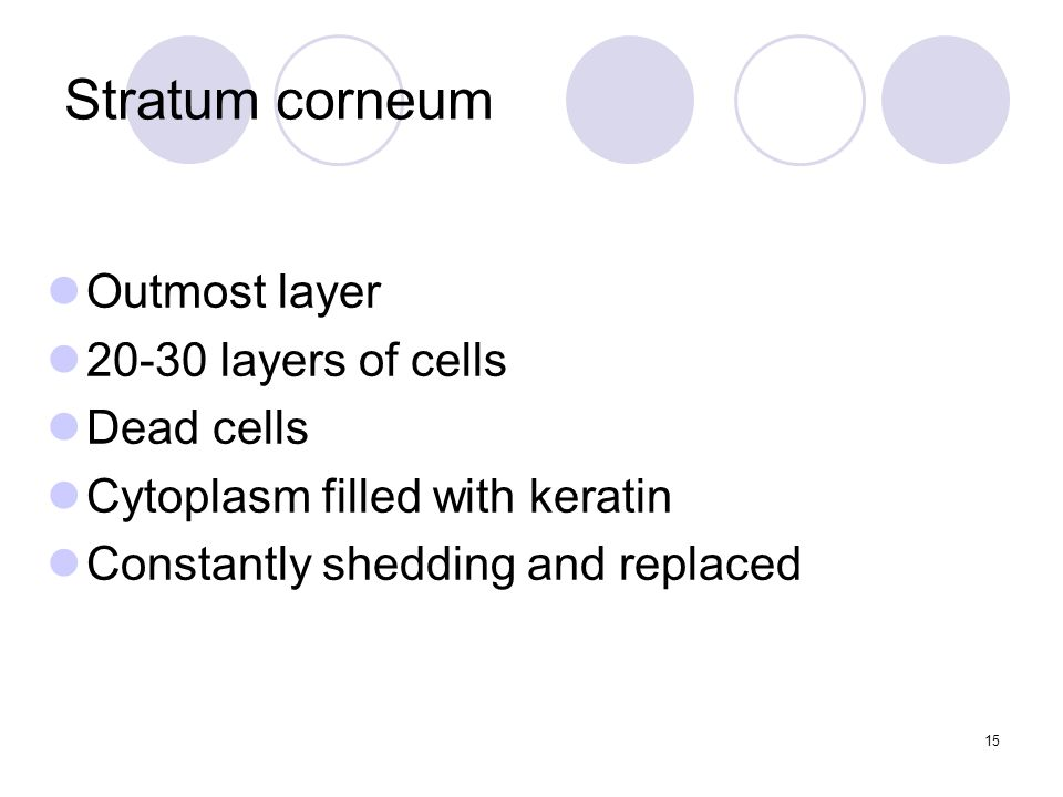 Stratum corneum Outmost layer layers of cells Dead cells Cytoplasm filled with keratin Constantly shedding and replaced 15