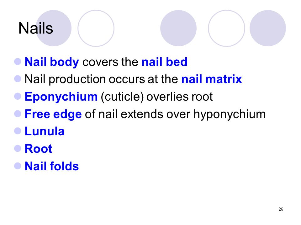 Nail body covers the nail bed Nail production occurs at the nail matrix Eponychium (cuticle) overlies root Free edge of nail extends over hyponychium Lunula Root Nail folds Nails 26