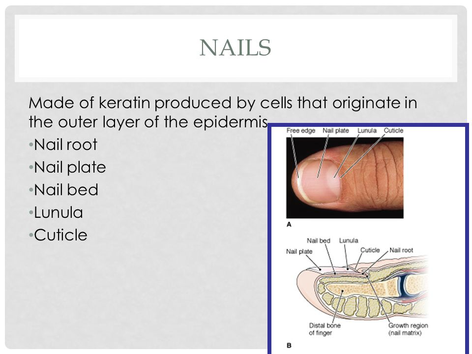 NAILS Made of keratin produced by cells that originate in the outer layer of the epidermis Nail root Nail plate Nail bed Lunula Cuticle