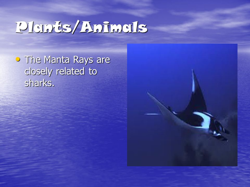 Plants/Animals The Manta Rays are closely related to sharks.