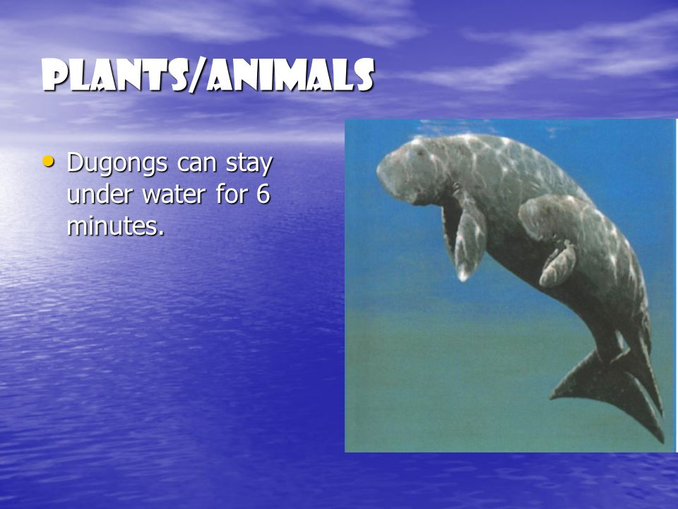 Plants/Animals Dugongs can stay under water for 6 minutes.