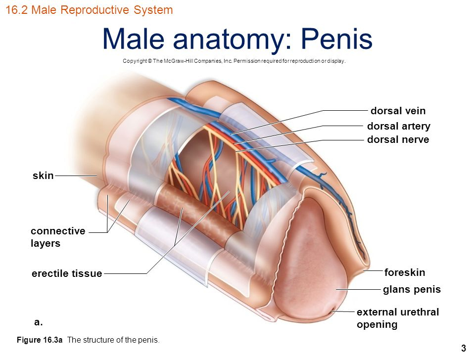 Exam One Male Anatomy B Diagram