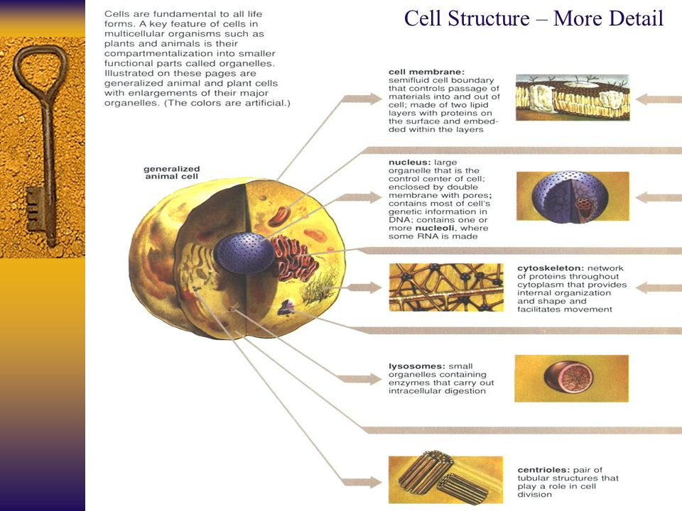 Cell Structure – More Detail