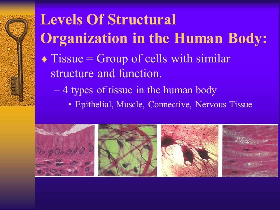 Levels Of Structural Organization in the Human Body:  Tissue = Group of cells with similar structure and function.
