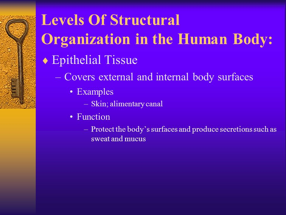 Levels Of Structural Organization in the Human Body:  Epithelial Tissue –Covers external and internal body surfaces Examples –Skin; alimentary canal Function –Protect the body's surfaces and produce secretions such as sweat and mucus