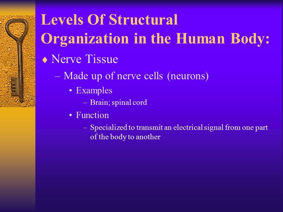  Nerve Tissue –Made up of nerve cells (neurons) Examples –Brain; spinal cord Function –Specialized to transmit an electrical signal from one part of the body to another