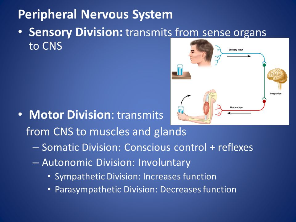 Peripheral Nervous System Sensory Division: transmits from sense organs to CNS Motor Division: transmits from CNS to muscles and glands – Somatic Division: Conscious control + reflexes – Autonomic Division: Involuntary Sympathetic Division: Increases function Parasympathetic Division: Decreases function