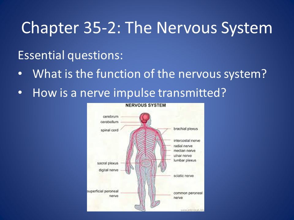 Chapter 35-2: The Nervous System Essential questions: What is the function of the nervous system.