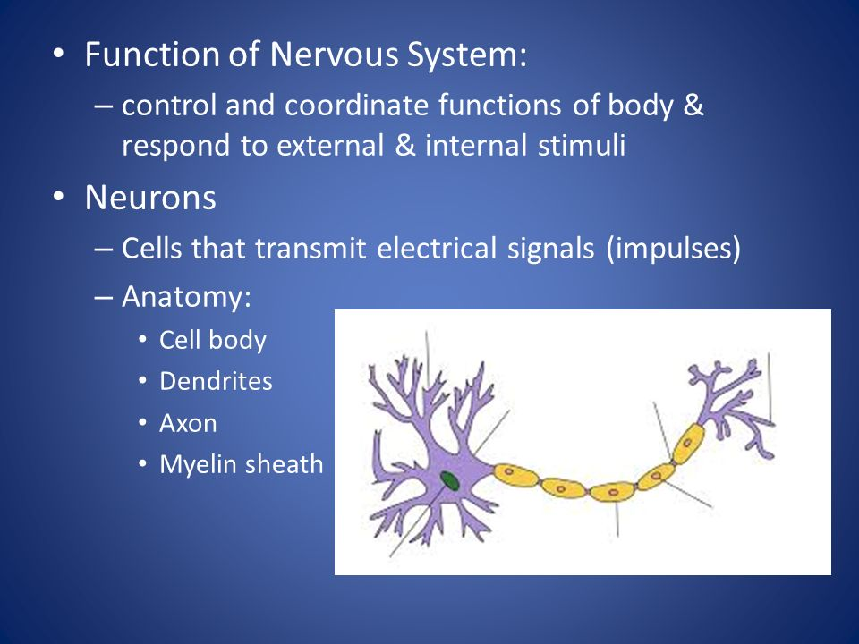 Function of Nervous System: – control and coordinate functions of body & respond to external & internal stimuli Neurons – Cells that transmit electrical signals (impulses) – Anatomy: Cell body Dendrites Axon Myelin sheath