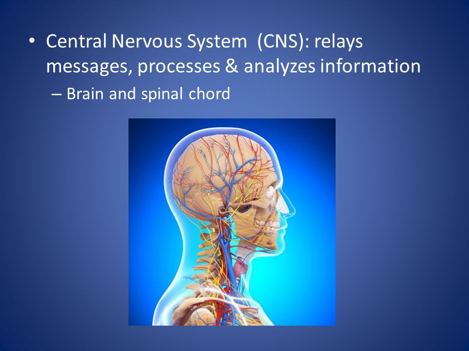 Central Nervous System (CNS): relays messages, processes & analyzes information – Brain and spinal chord