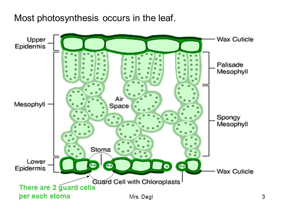 3 Most photosynthesis occurs in the leaf. There are 2 guard cells per each stoma