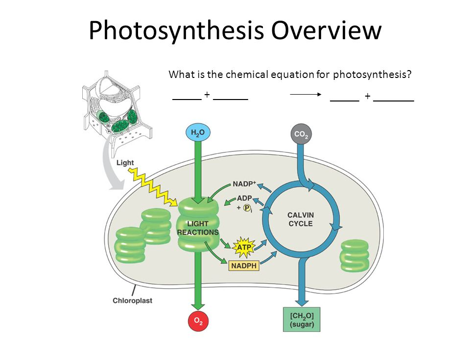 what are two stages of photosynthesis Start studying 2 stages of photosynthesis learn vocabulary, terms, and more with flashcards, games, and other study tools.