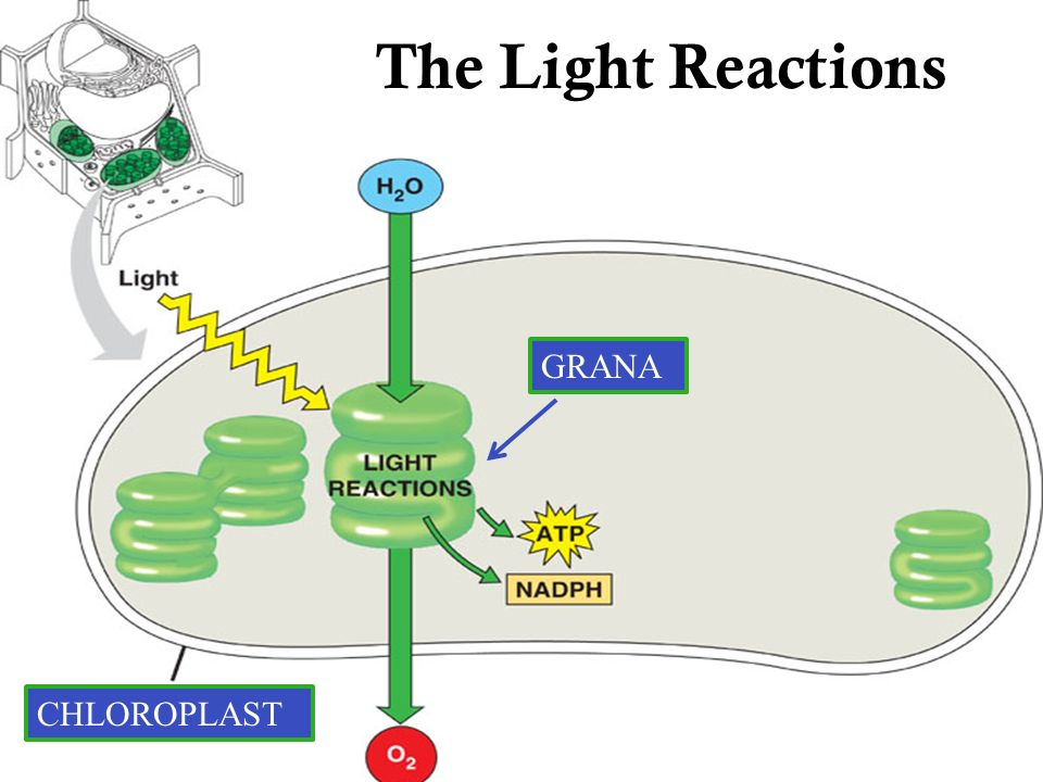 The The Light Reactions GRANA CHLOROPLAST