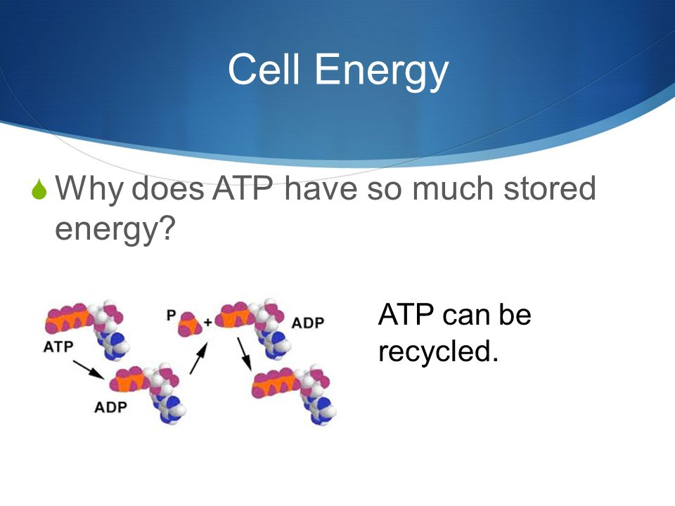 Cell Energy  Why does ATP have so much stored energy ATP can be recycled.