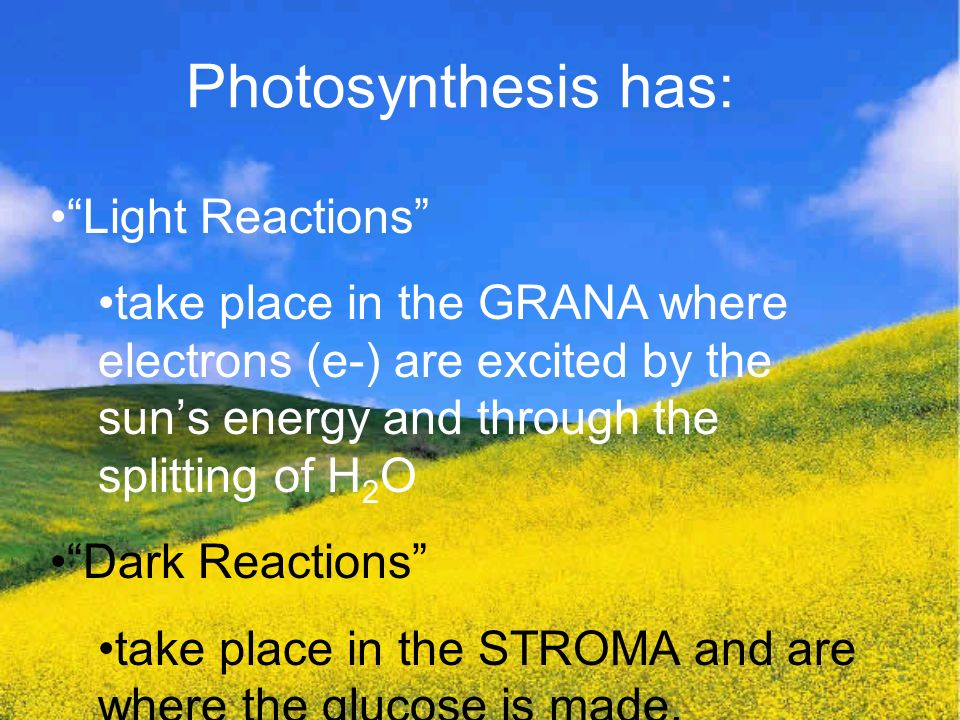 Photosynthesis has: Light Reactions take place in the GRANA where electrons (e-) are excited by the sun's energy and through the splitting of H 2 O Dark Reactions take place in the STROMA and are where the glucose is made.