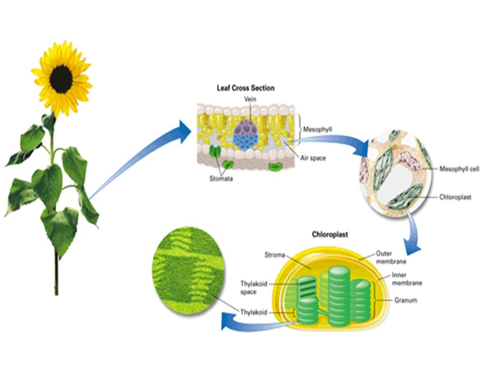 8 photosynthesis ppt download 7 ccuart Choice Image