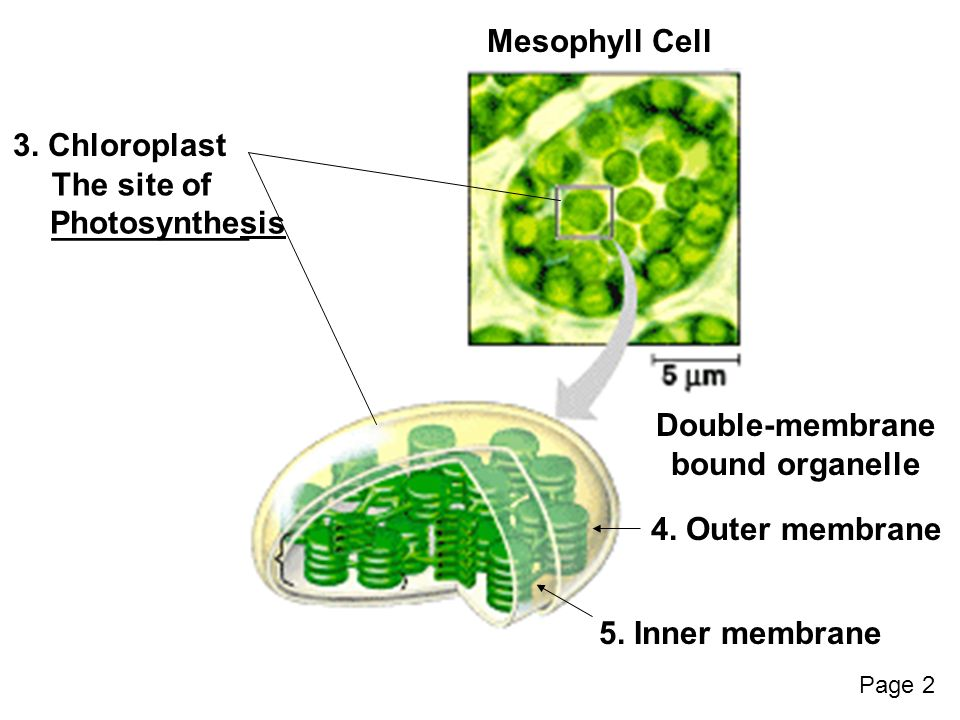 Photosynthesis 1 mesophyll a layer of cells that contain are mesophyll cell 3 ccuart Gallery