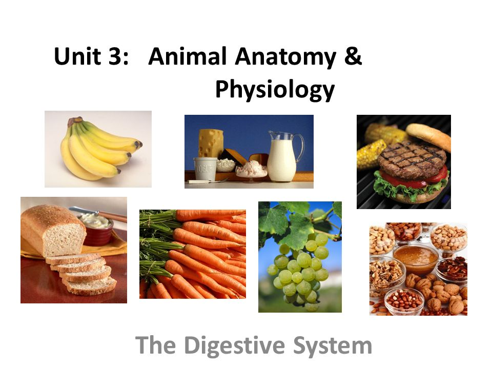 Unit 3: Animal Anatomy & Physiology The Digestive System. - ppt download