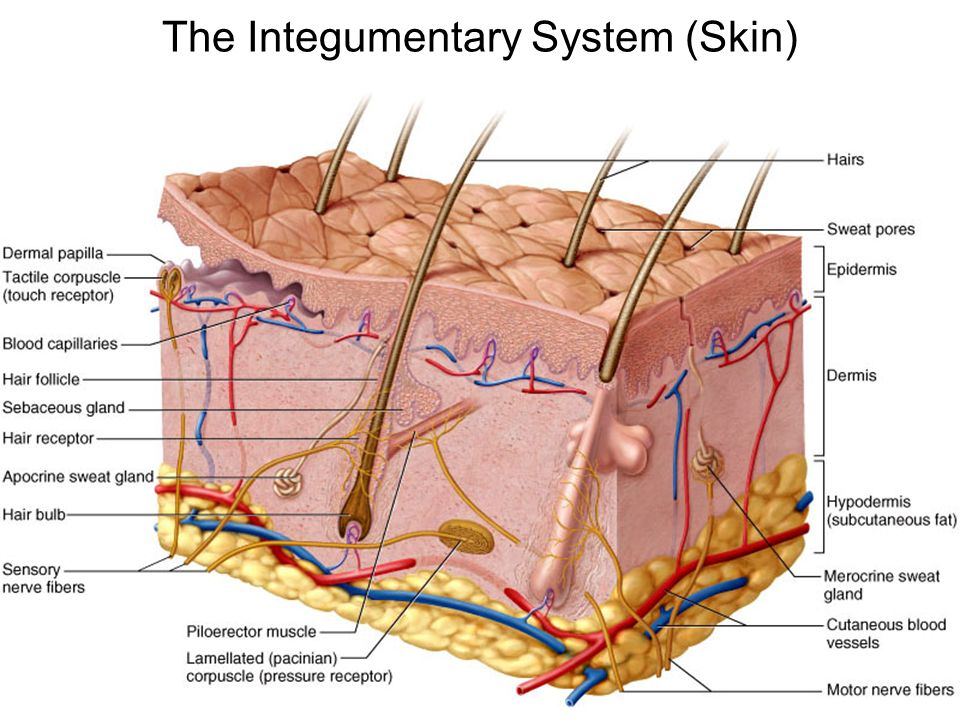 The Integumentary System (Skin) Largest organ of the body (15% of ...