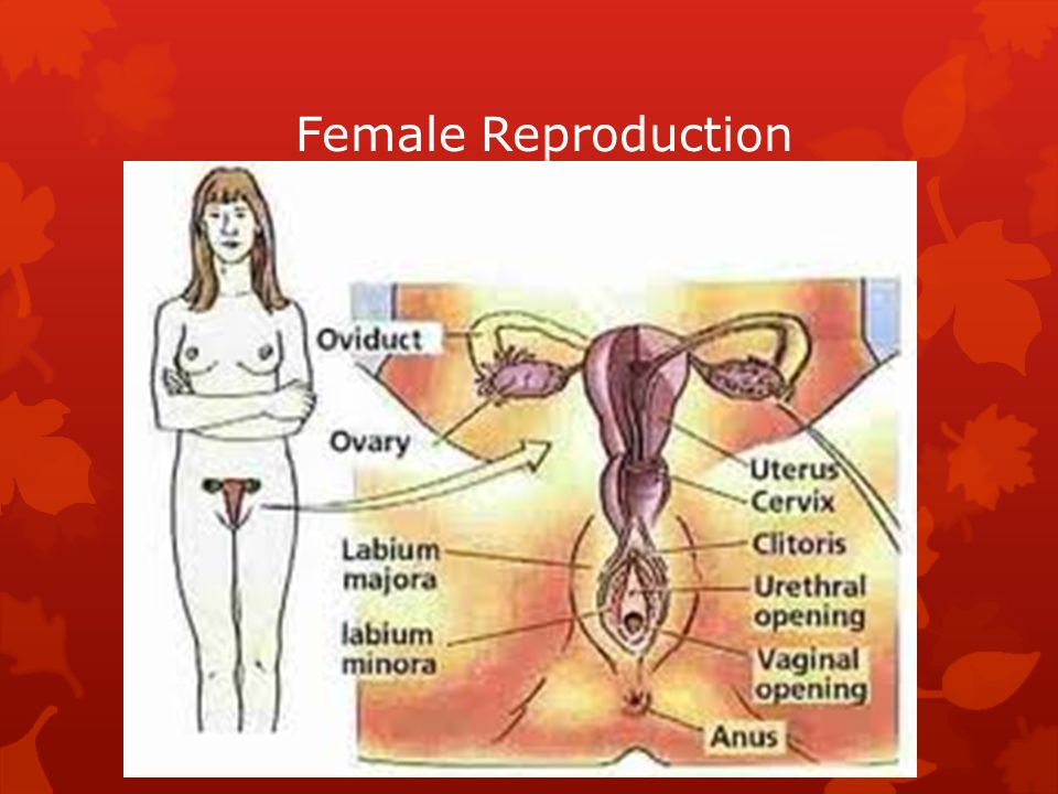 Female Reproduction  The most important part of the female ...