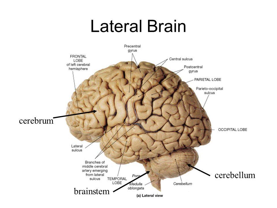 Diagram Of Cerebrum Cerebellum Search For Wiring Diagrams