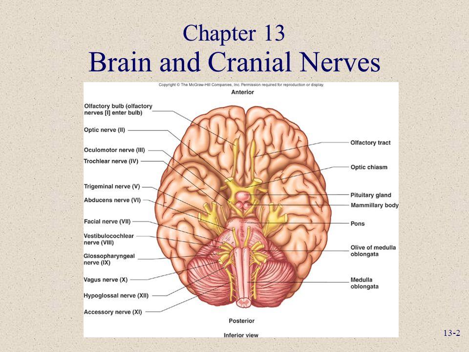 13-1 Anatomy and Physiology, Seventh Edition Rod R. Seeley Idaho ...