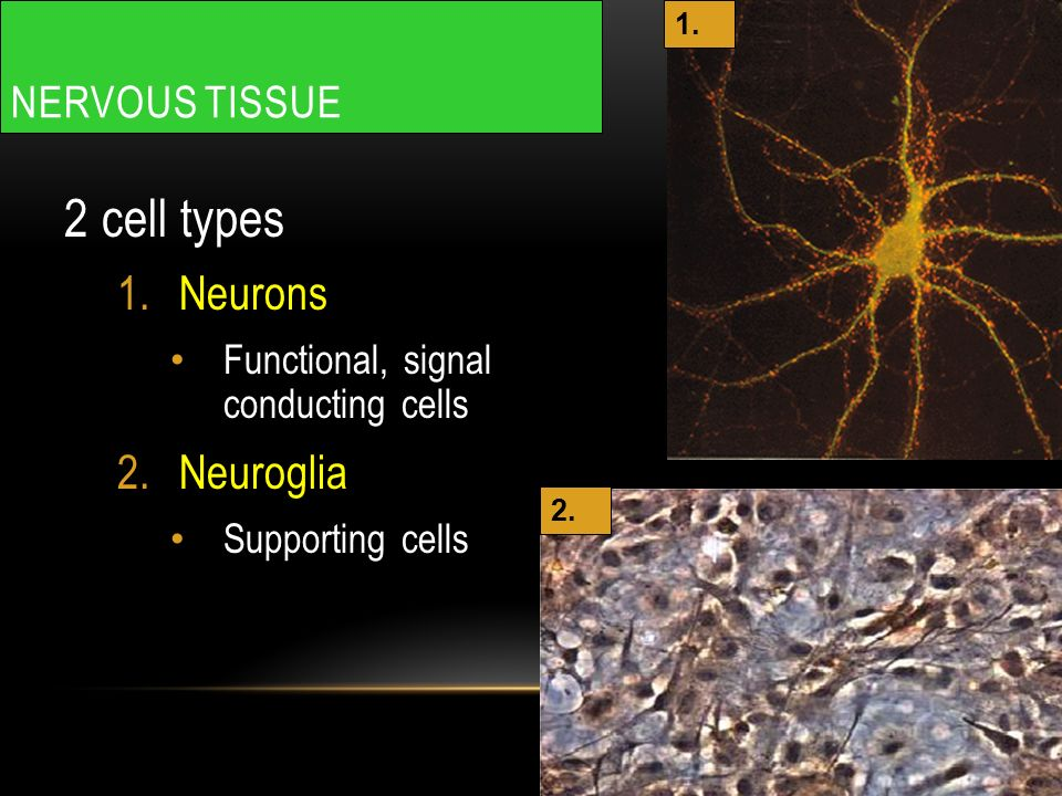 NERVOUS TISSUE 2 cell types 1.Neurons Functional, signal conducting cells 2.Neuroglia Supporting cells 1.