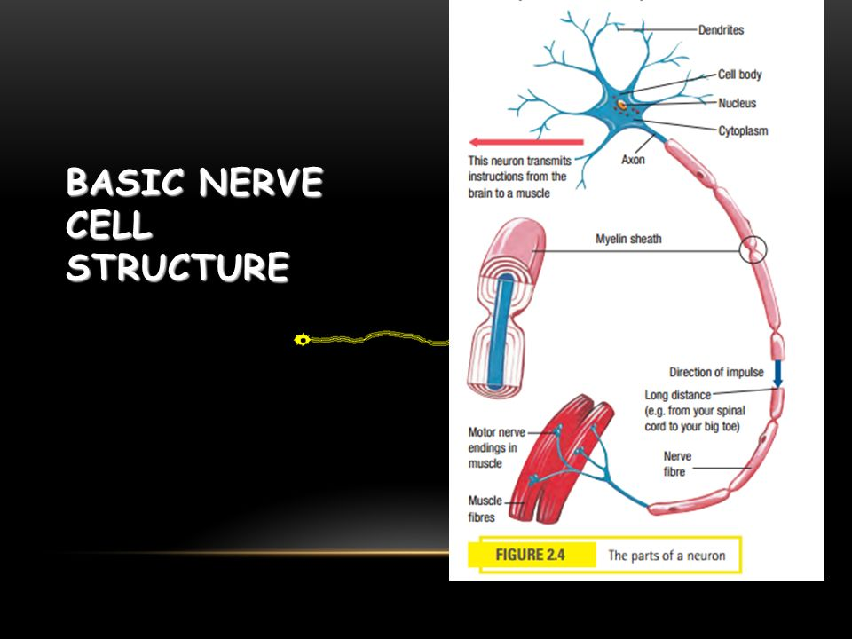 BASIC NERVE CELL STRUCTURE