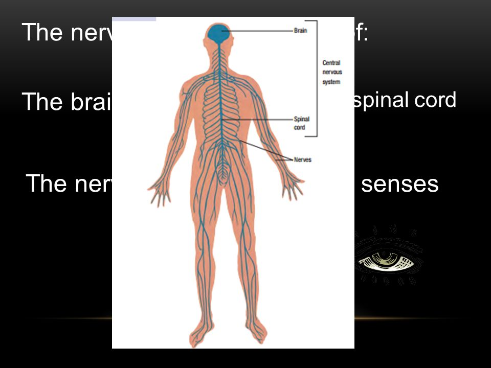 The nervous system is made of: The brain The spinal cord The nervesThe senses