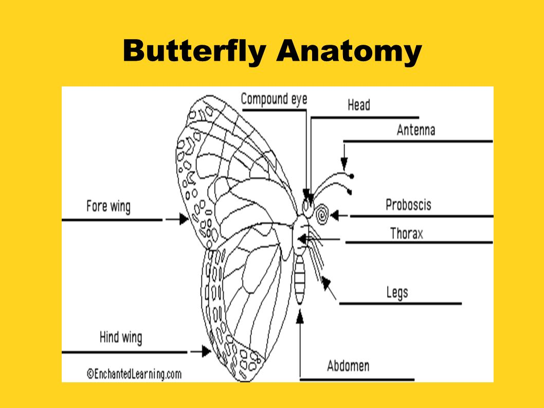 Presented by Elizabeth Blaikie. Butterfly Anatomy. - ppt download