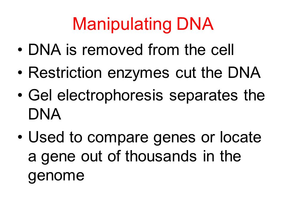 Manipulating DNA DNA is removed from the cell Restriction enzymes cut the DNA Gel electrophoresis separates the DNA Used to compare genes or locate a gene out of thousands in the genome