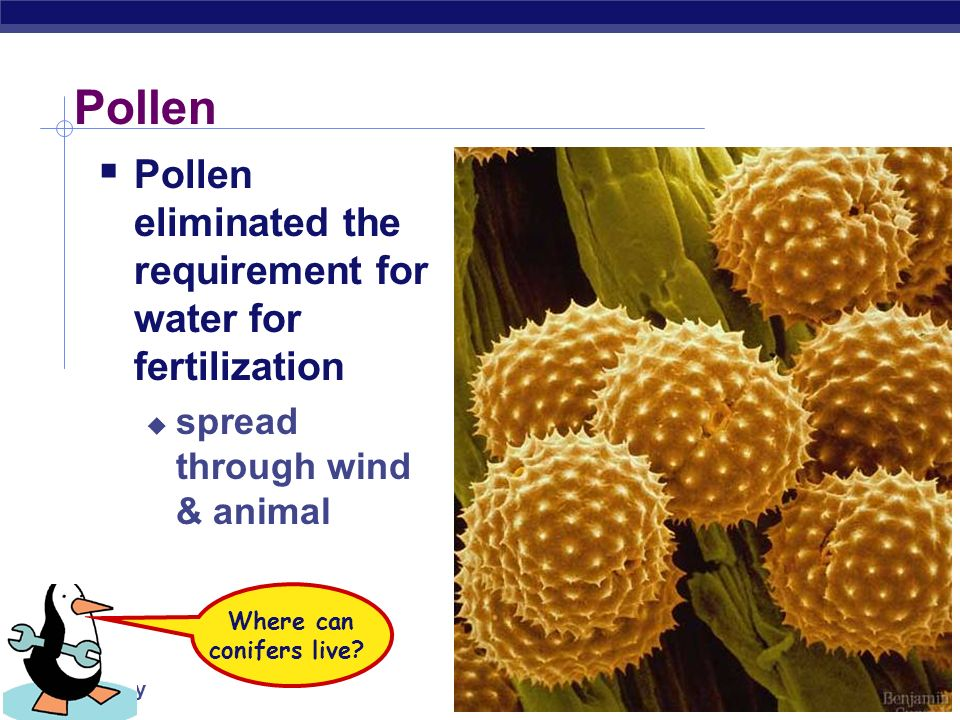 AP Biology male female male (pollen) cones female cones sporangium & pollen pine embryo
