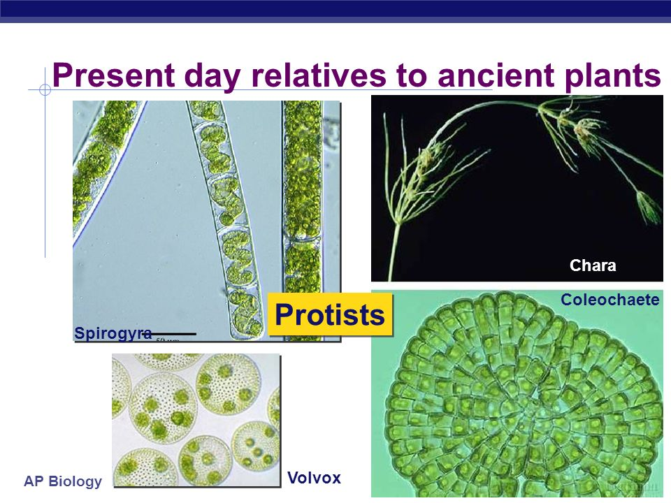 AP Biology The first plants  For more than 3 billion years, Earth's terrestrial surface was lifeless  life evolved in the seas  1st photosynthetic organisms were aquatic green algae Chlamydomonas