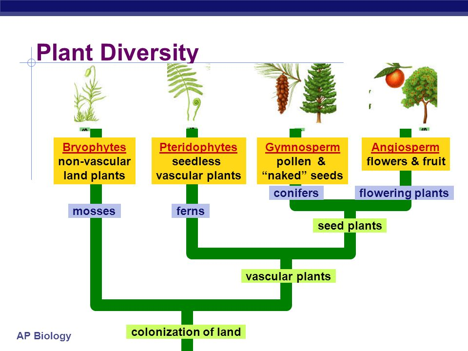 AP Biology Evolution of Land Plants  500 mya land plants evolved  special adaptations for life on dry land  protection from drying = desiccation  waxy cuticle  gas exchange (through cuticle)  stomates  water & nutrient conducting systems  xylem & phloem  protection for embryo  seeds