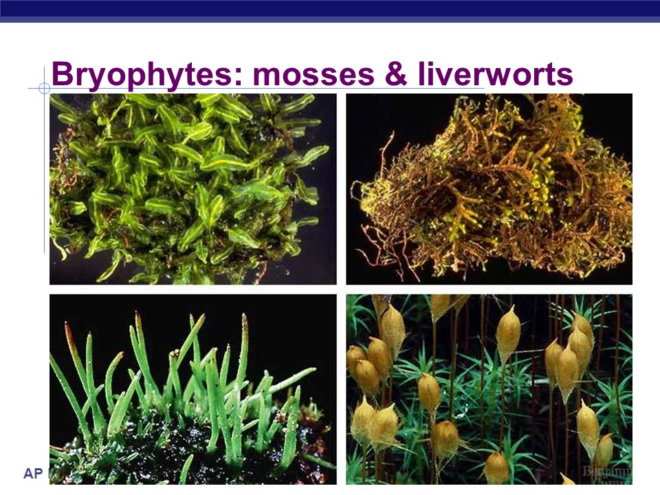AP Biology First land plants  Bryophytes: mosses & liverworts  non-vascular  no water transport system  no true roots  swimming sperm  flagellated sperm  lifecycle dominated by haploid gametophyte stage  fuzzy moss plant you are familiar with is haploid  spores for reproduction  haploid cells which sprout to form gametophyte diploidhaploid Where must mosses live